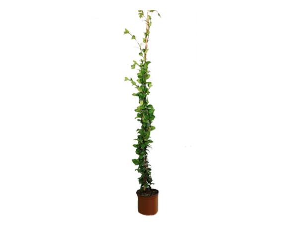 Gelsomino Rhyncospermum