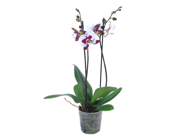 Orchidea Phalaenopsis 2 Steli H65