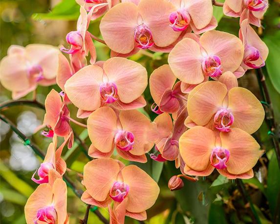 53829827 ibridi di orchidea phalaenopsis bel giallo fioritura di orchidee in giardino con profondità di campo 1