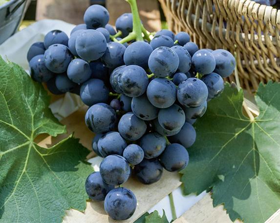6604a vigne de table alphonse lavall e t1000 1