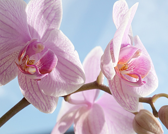 85 phalaenopsis pixabay 2 1