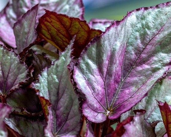 Begonia Beleaf Maori Haze foglie Le Georgiche 1