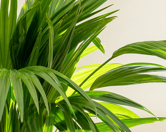 Chinese Fan Palm leaves 85 1