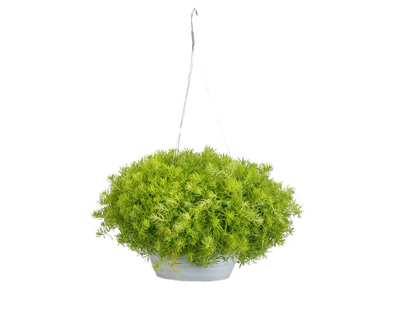 SEDUM IN BASKET