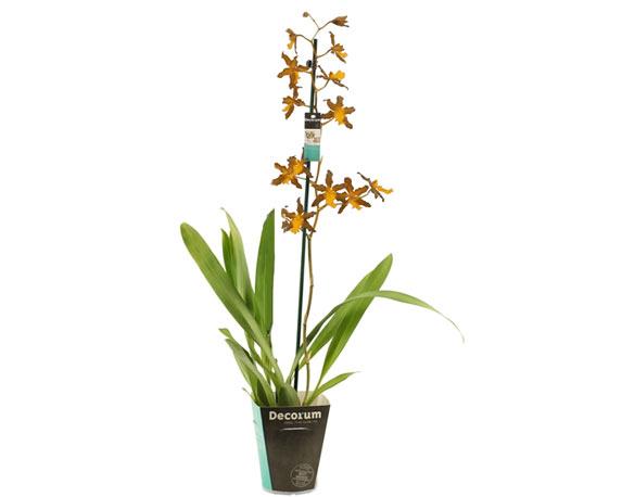Orchidea Cambria Mix H60