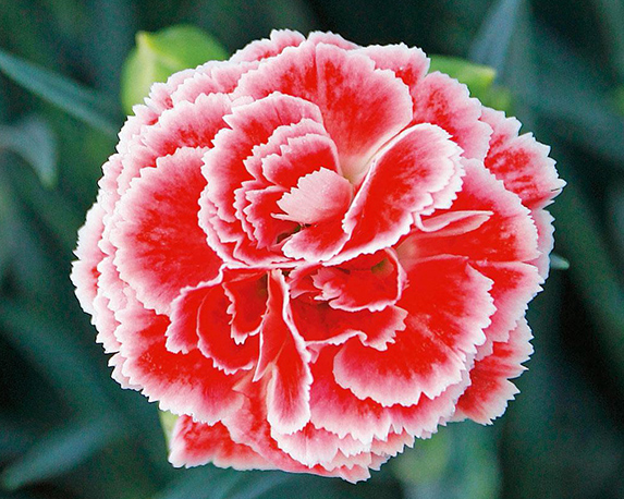 Dianthus coral reef 1