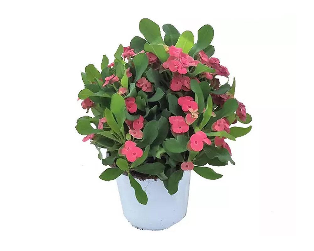 EUPHORBIA MILII piante e fiori siepi piante verdi cespugli