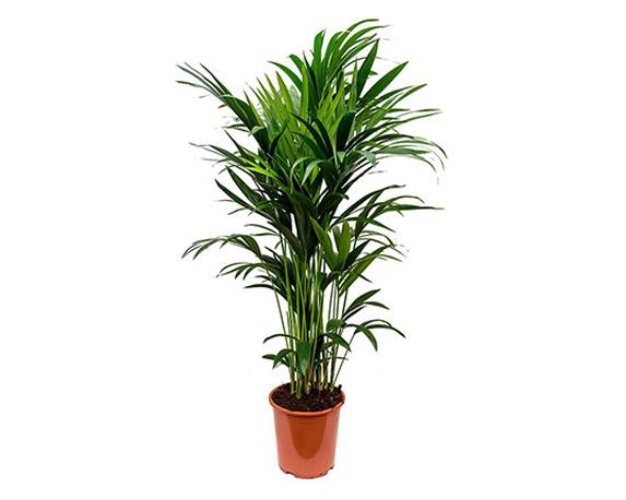 Howea forsteriana Kentia Indoor Palm 27x150cm 1