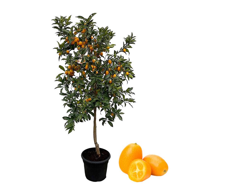 Kumquat fortunaella fitocella