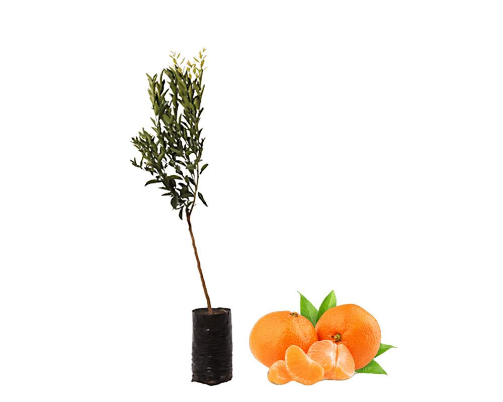 Mandarino tardivo fitocella