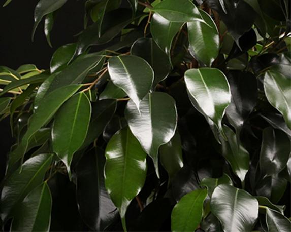 Pianta di Ficus benjamina Danielle vaso 24cm extra big 241 981 1