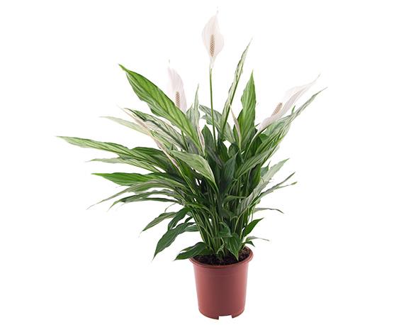 Spathiphyllum Pearl Cupido