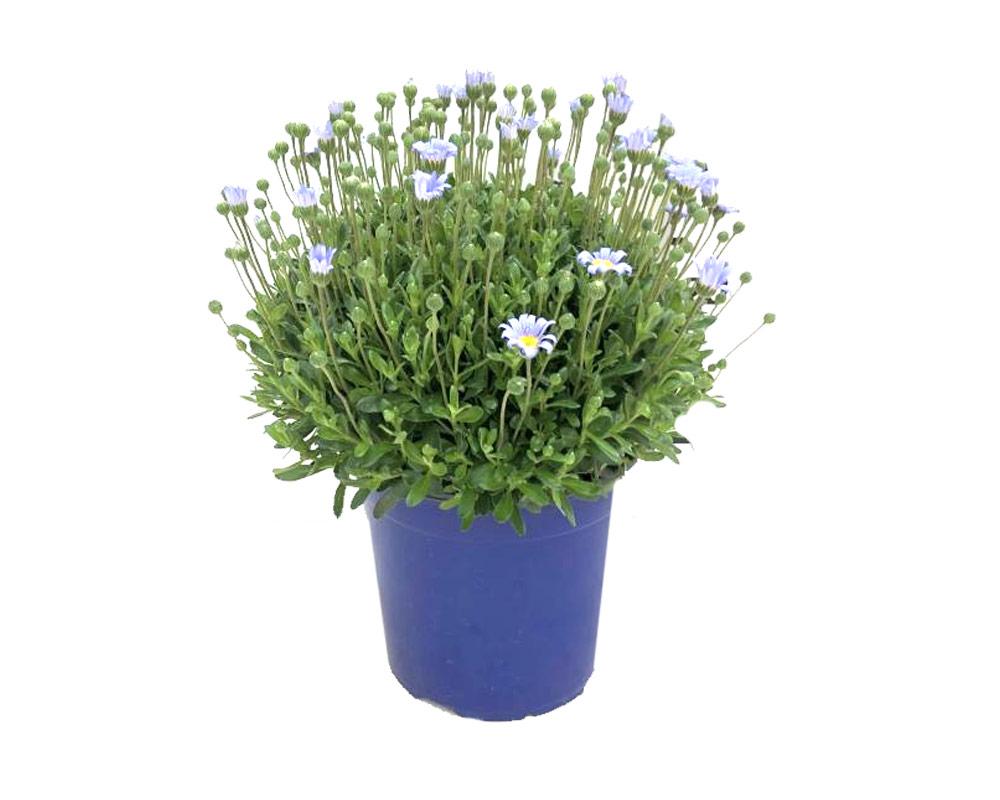 agathea felicia vaso 16 piante e fiori vivaio esterno margherita 1