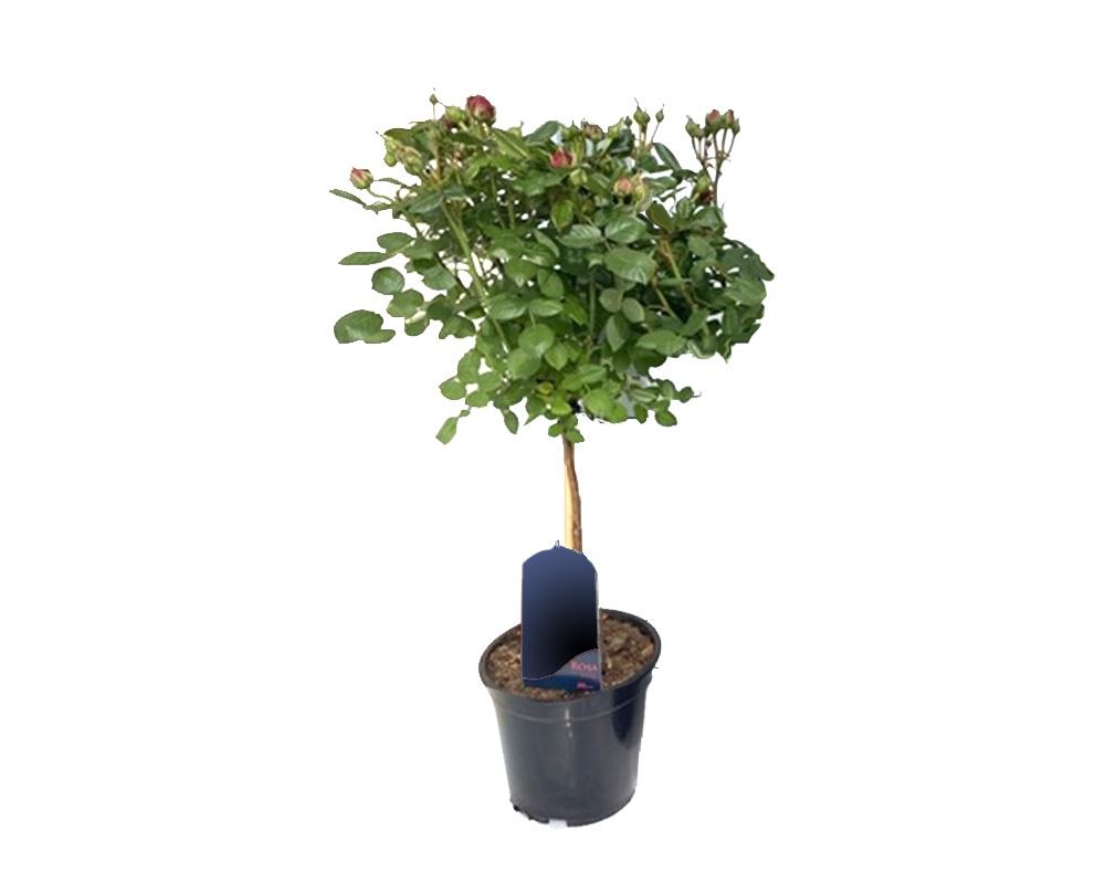 alberello rosa 150h oz planten vaso olanda 1