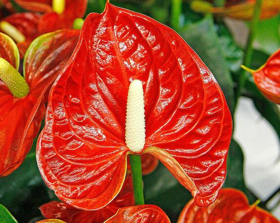 anthurium dakota vaso 17 piante da interno serra calda oz planten piante fiorite.jpg2