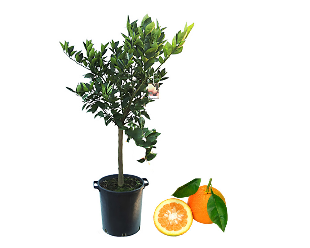 arancio amaro vaso 35