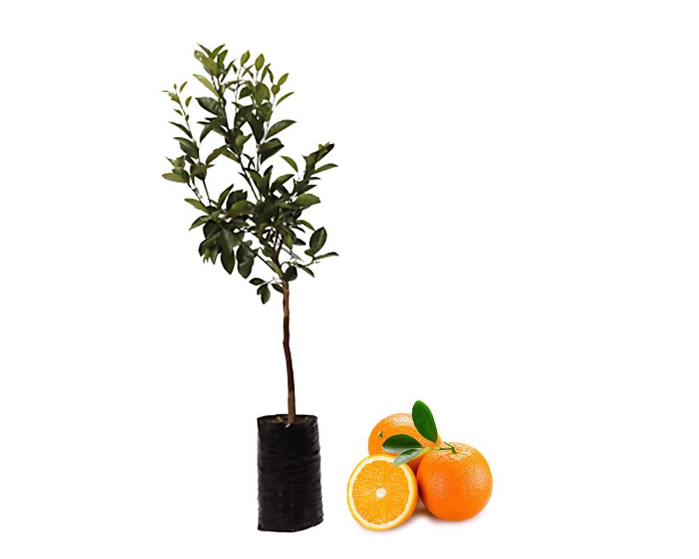 arancio brasiliano citrus sinensis fitocella