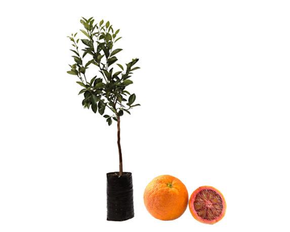Arancio Moro