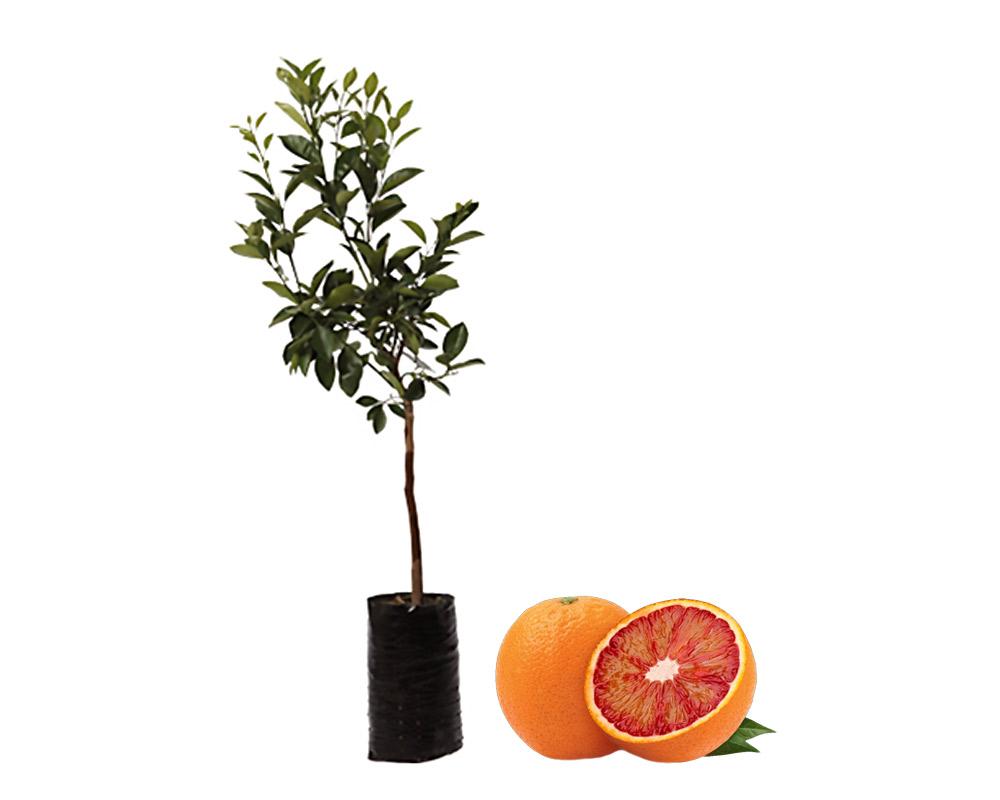 arancio tarocco fitocella