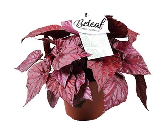 Begonia Flame