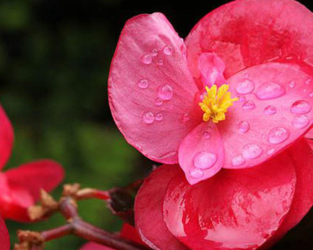 begonia ibrida vaso 17 piante e fiori piante da vivaio piante da esterno piate fiorite