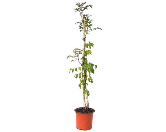 Bignonia Cherere
