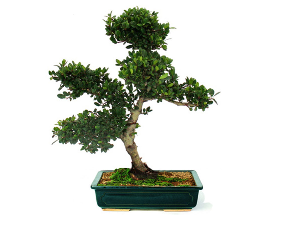 bonsai piante da interno piante verdi oz planten vaso 13 10 1