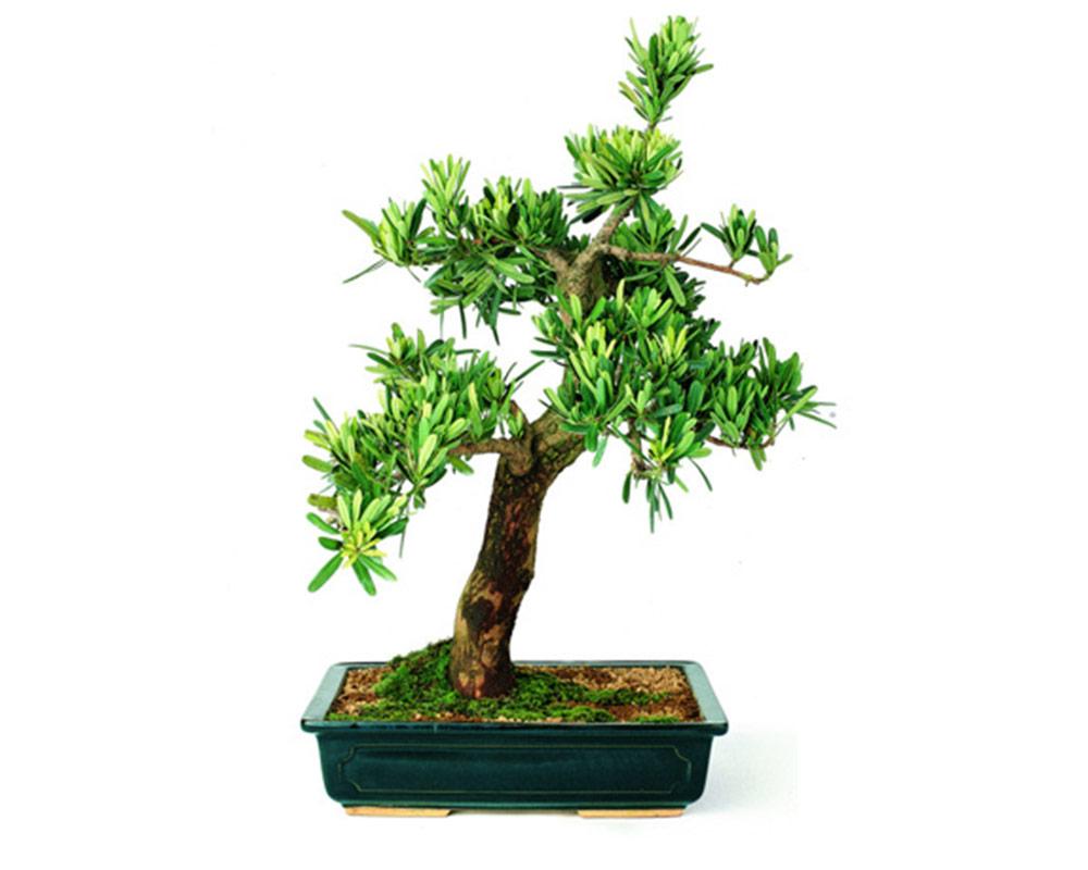 bonsai piante da interno piante verdi oz planten vaso 13 12 1