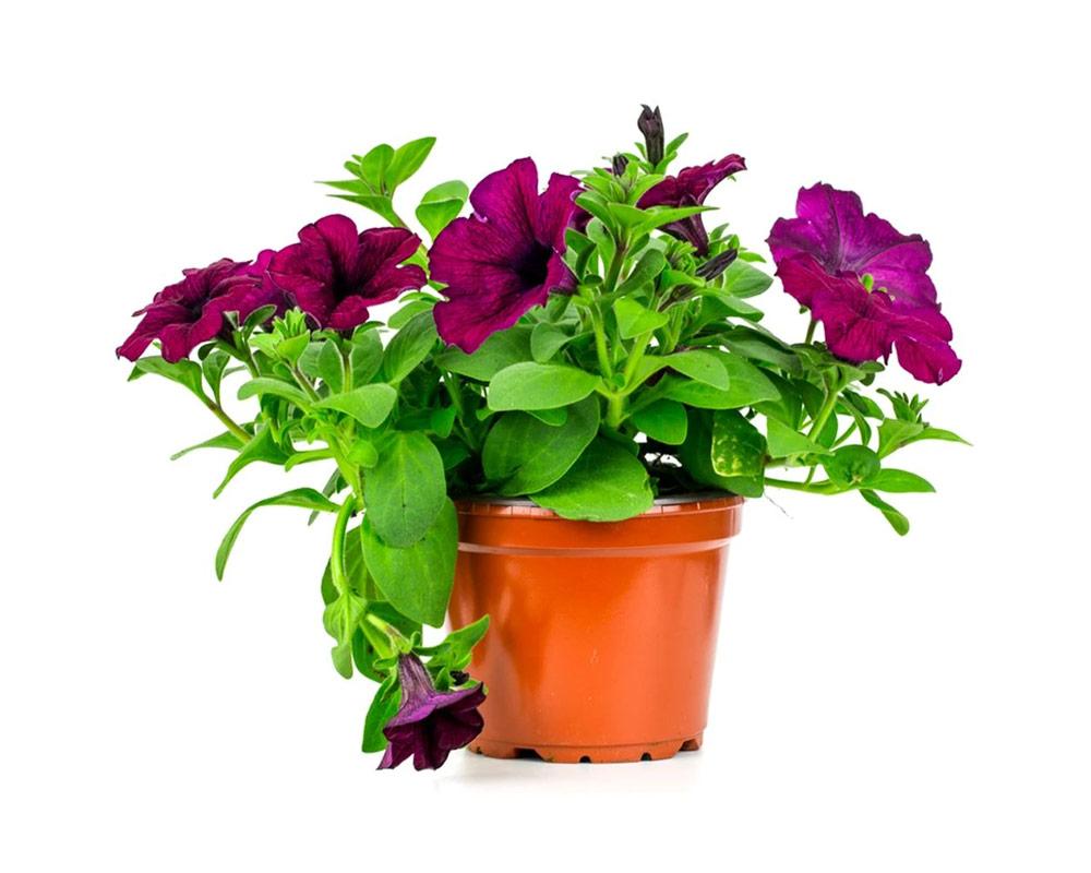 calibrachoa vaso 16 piantee fiori esterno giaridno fiortie vivaio petunia 1