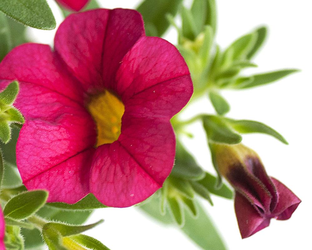 calibrachoa vaso 16 piantee fiori esterno giaridno fiortie vivaio petunia1 1
