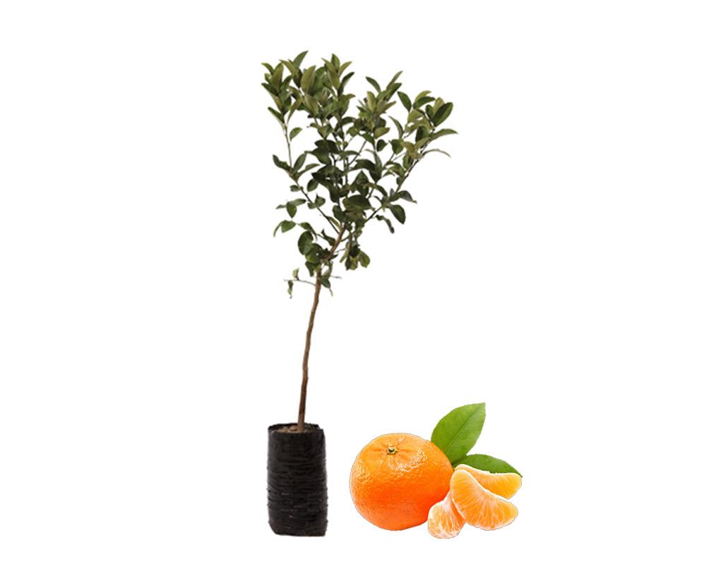 clementina fitocella