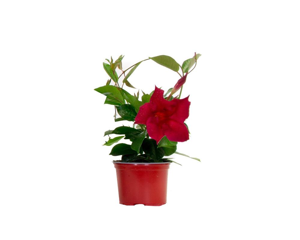 dipladenia vaso 11 fiorite vivaio pianteefiori esterno giardino fiori rampicanti 1