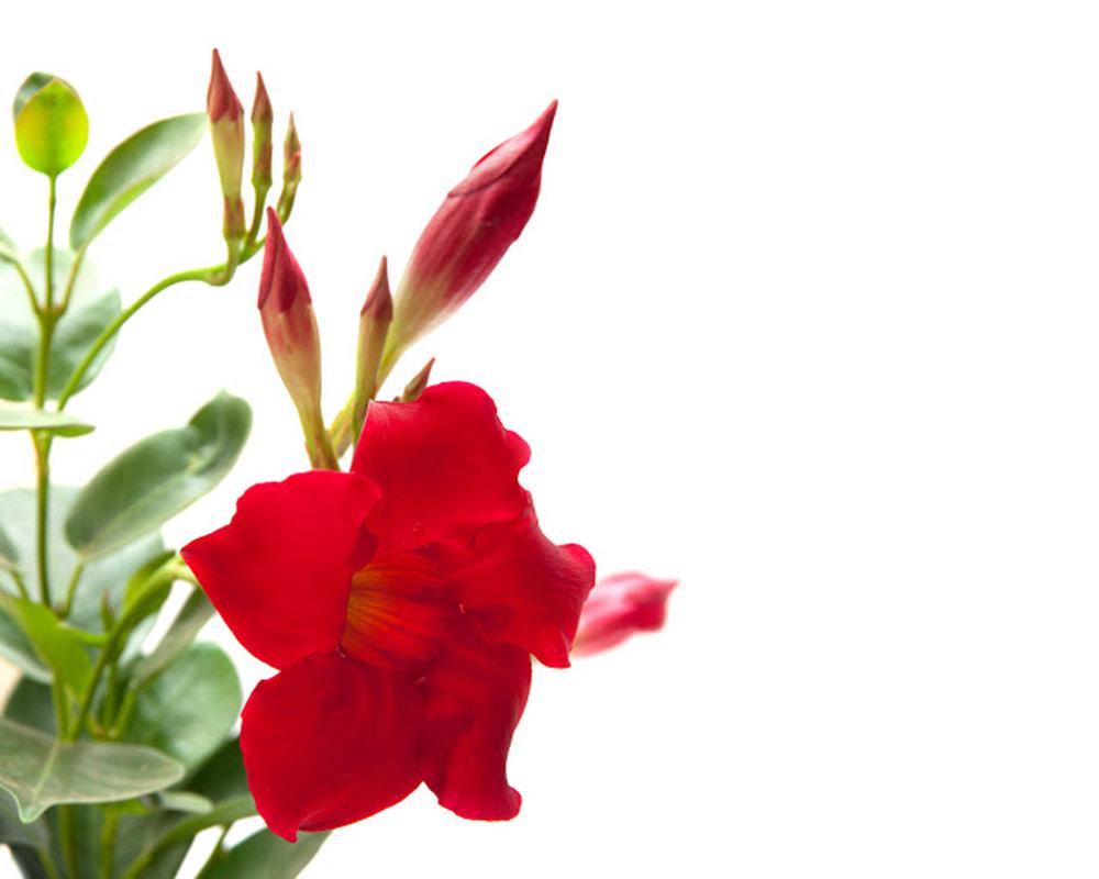 dipladenia vaso 11 fiorite vivaio pianteefiori esterno giardino fiori rampicanti 1.jpg1  1
