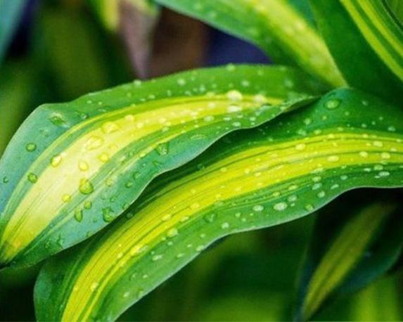 dracaena fragrans massangeana tronchetto della felicita dracena vaso 24cm h 125 cm P 9079401 16432655 1 2