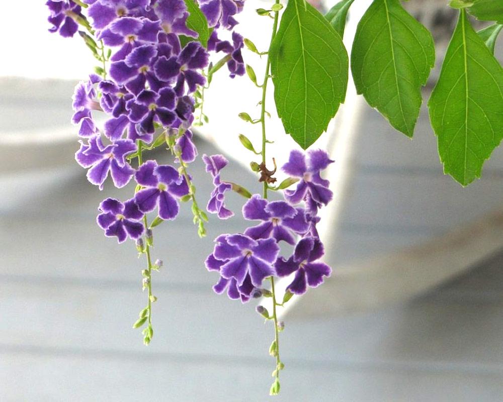 duranta ellisia ricadenti vaso 16 piante e efiori fiorite vivaio esterno 1 1