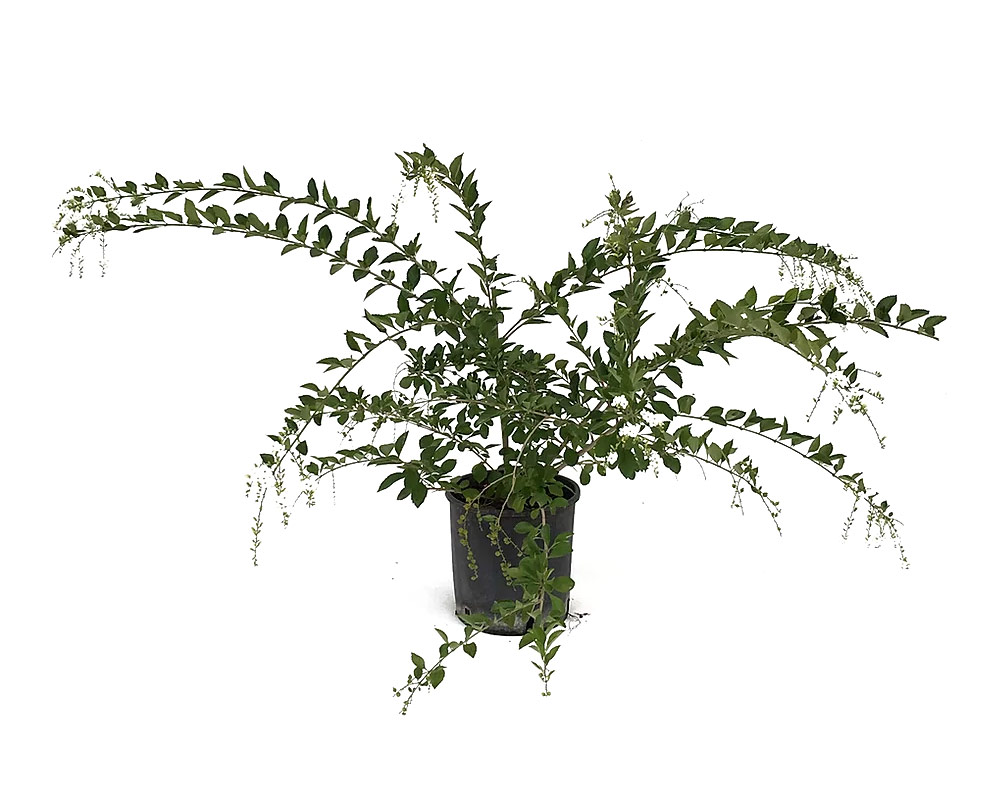 duranta ellisia ricadenti vaso 16 piante e efiori fiorite vivaio esterno 2 1