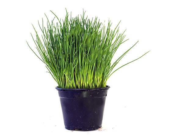 erba cipollina pianta vaso contro un fondo grigio chiaro con la copia s 93809432 1