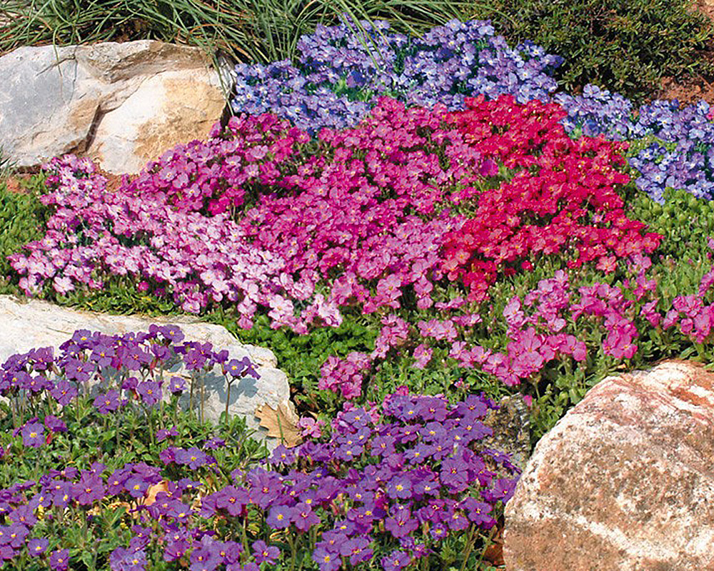 fiori per giaridini rocciosi sementi dotto sementi da fior giardinaggio sementi e bulbii 1.jpg3 1