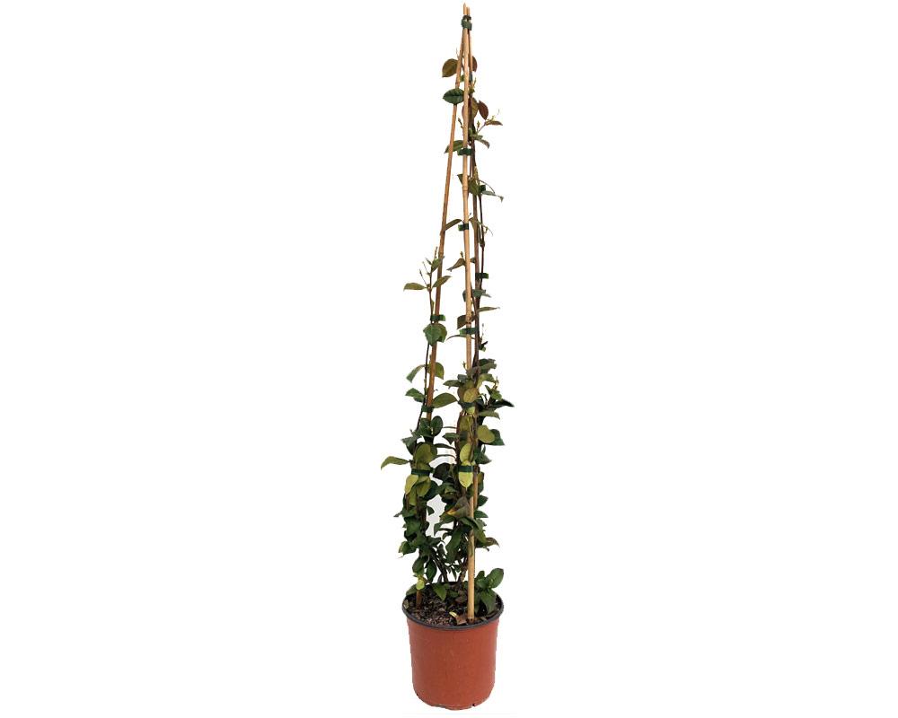 gelsomino azoricum piante rampicanti fiorite vivaio esterno giardino