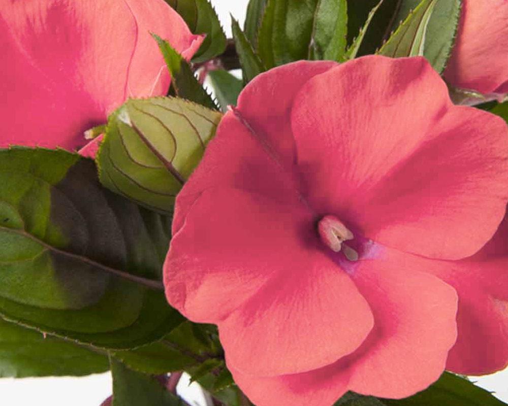 impatiens nuova guinea piante fiorite piante esterno giaridno balcone1 1 1