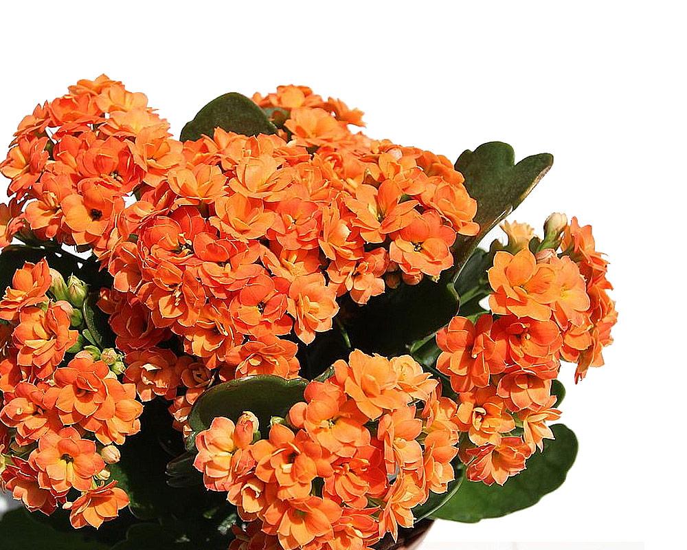 kalanchoe arancio