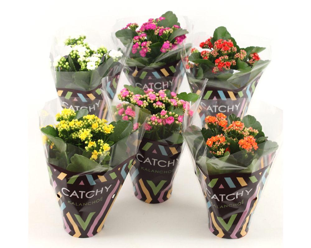 kalanchoe mix 5 colori piante grasse succulente piante per esterrno fiorite 1