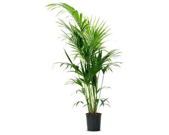 kentia grande in vaso2112 1