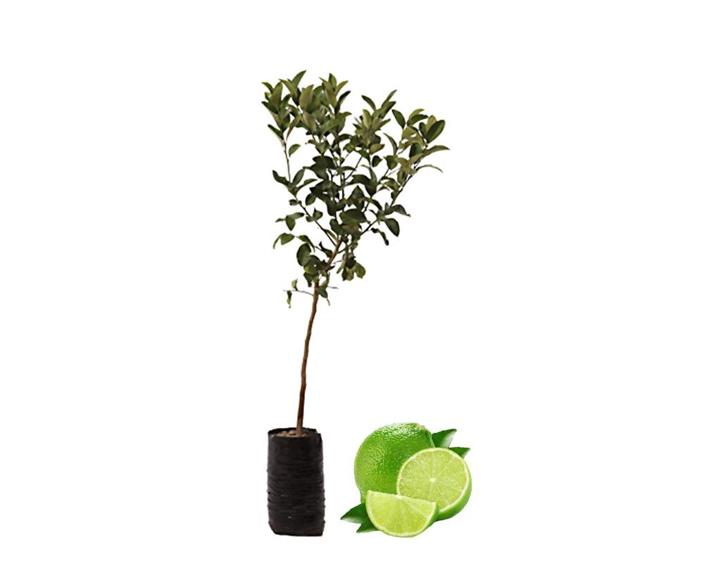 lime fitocella