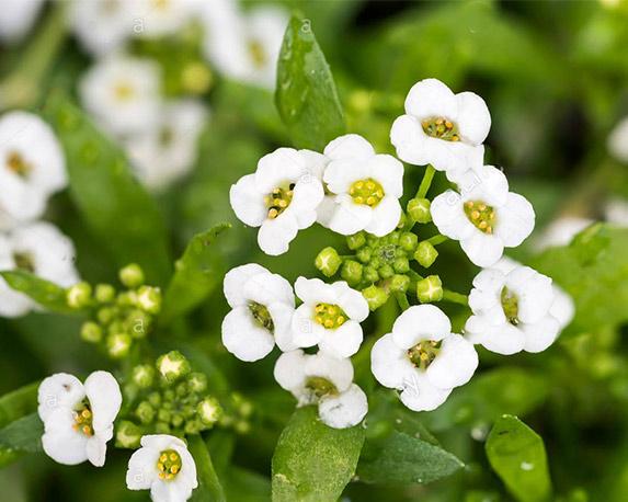 little white lobularia maritima fiori con quattro petali in un giardino sotto il caldo sole di primavera exg854 1