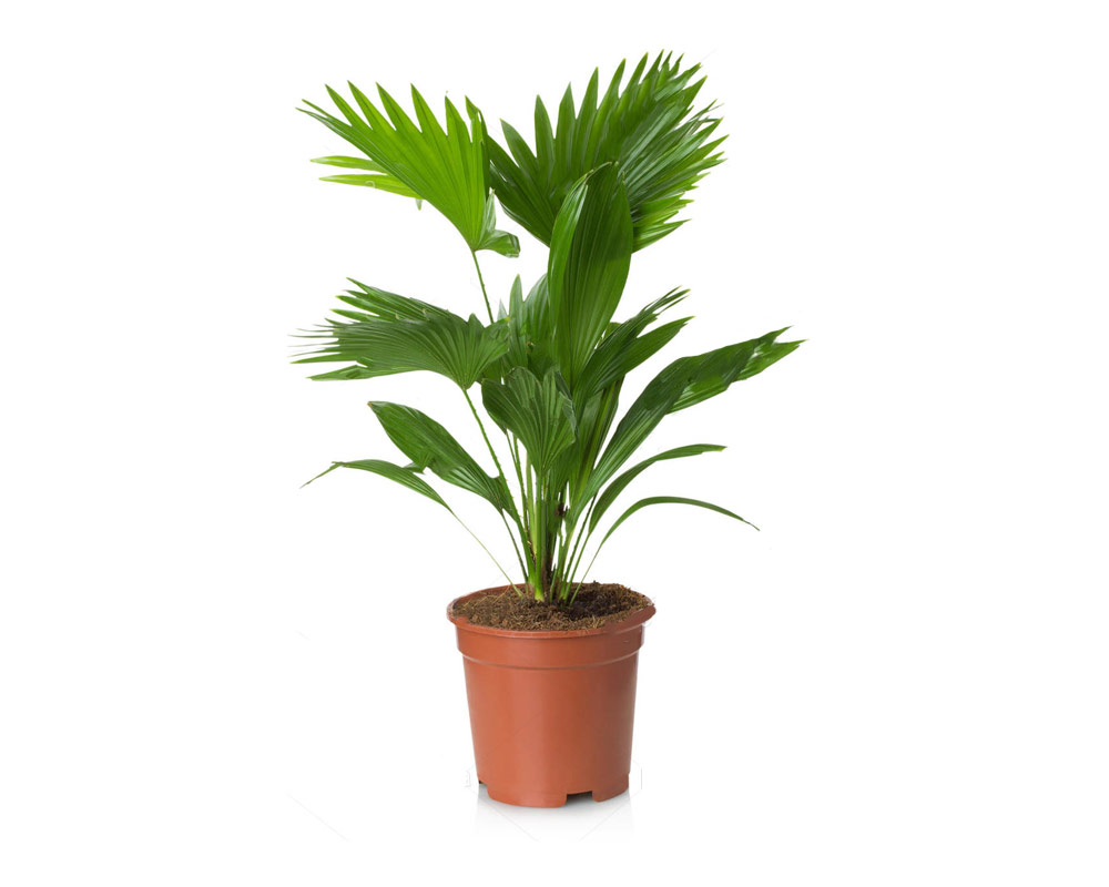 livistonia chinensis verdi piante da esterno palmizi vaso 30 giardino