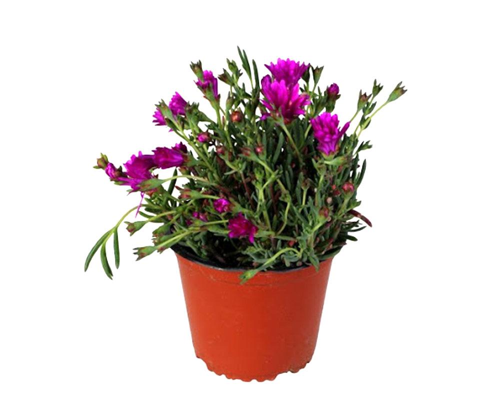 mesembriantemum vaso 16 fiorite galletta vivaio esterno piante e fiori 1 1