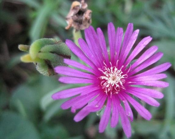 mesembriantemum vaso 16 fiorite galletta vivaio esterno piante e fiori 2 1