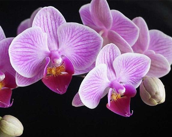 orchidea phalaenopsis 1280x720 1 1