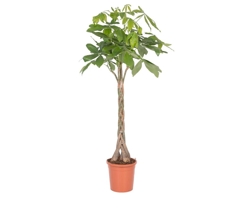 pachira acquatica vaso 27 piante da interno verdi